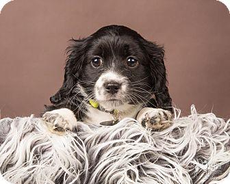 Cocker Spaniel/Pekingese Mix Puppy for adoption in Salem, Oregon - Jasmine