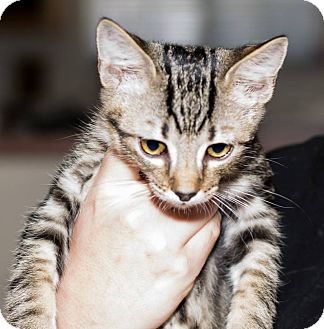 Domestic Shorthair Kitten for adoption in Sierra Vista, Arizona - Tiny Tim