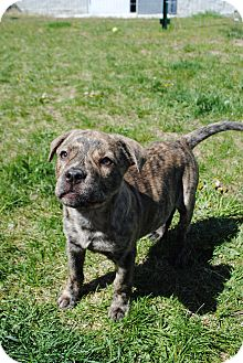 Shepherd (Unknown Type)/Retriever (Unknown Type) Mix Puppy for adoption in Lafayette, New Jersey - Cass