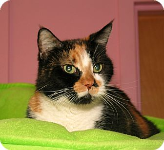 Domestic Shorthair Cat for adoption in Milford, Massachusetts - Pepper