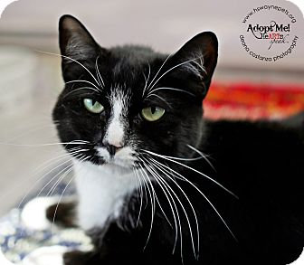 Domestic Shorthair Cat for adoption in Lyons, New York - Sunlight