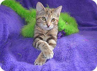 Abyssinian Kitten for adoption in Taylor Mill, Kentucky - Chloe-DECLAWED 5 mo, Socialite