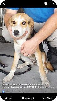 Hound (Unknown Type)/Shepherd (Unknown Type) Mix Dog for adoption in Billerica, Massachusetts - Lucy Girl