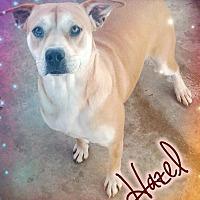 Adopt A Pet :: Hazel - Odessa, TX