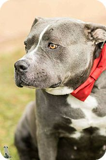 Pit Bull Terrier Dog for adoption in Calgary, Alberta - Chance