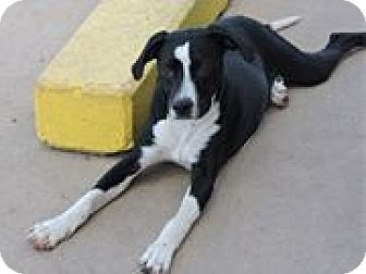 Labrador Retriever/Retriever (Unknown Type) Mix Puppy for adoption in Cottonport, Louisiana - Jackson