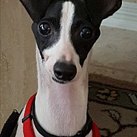 Adopt A Pet :: Ashton (Ash) in Houston area - Argyle, TX