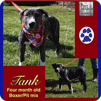 St. Bernard/Pit Bull Terrier Mix Puppy for adoption in Washington, Pennsylvania - Tank