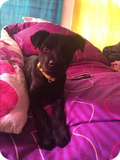 Labrador Retriever Mix Puppy for adoption in San Ysidro, California - Tommy