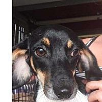 Adopt A Pet :: Sheila - Foristell, MO
