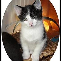 Adopt A Pet :: Preston - Mt. Prospect, IL