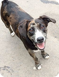 Catahoula Leopard Dog Mix Dog for adoption in East Hartford, Connecticut - Cash in CT