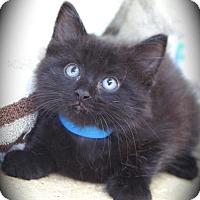 Adopt A Pet :: Licorice - Englewood, FL