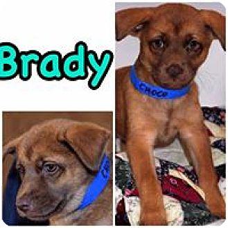 Labrador Retriever/Chihuahua Mix Puppy for adoption in Smithtown, New York - Brady
