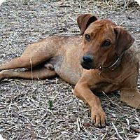 Adopt A Pet :: Lazarus - Toronto, ON