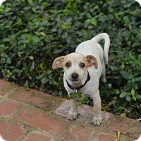 Adopt A Pet :: Pickle - San Antonio, TX