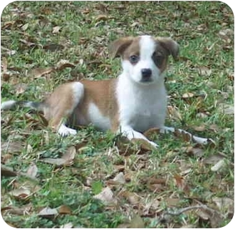 Border Collie/Terrier (Unknown Type, Small) Mix Puppy for adoption in Plaquemine, Louisiana - Pickles