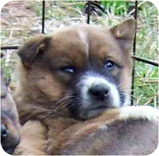 Australian Shepherd/Retriever (Unknown Type) Mix Puppy for adoption in Olive Branch, Mississippi - Pup 7-Callie