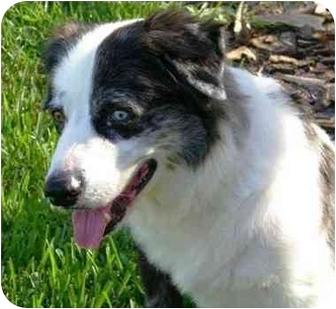 Australian Shepherd Dog for adoption in Orlando, Florida - Shia