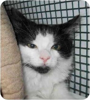 Domestic Mediumhair Kitten for adoption in San Clemente, California - MARIAH