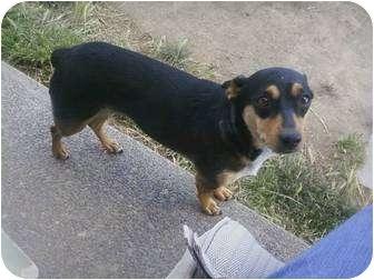 Miniature Pinscher Mix Dog for adoption in Yakima, Washington - Jazmine