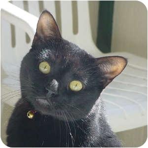 Domestic Shorthair Cat for adoption in Topeka, Kansas - M.C.