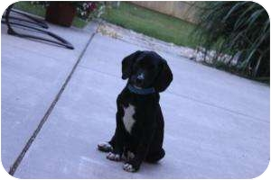Labrador Retriever Mix Puppy for adoption in Marlton, New Jersey - Lucy, Luna and Leah