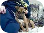 Dachshund/Jack Russell Terrier Mix Puppy for adoption in New Carlisle, Indiana - CoCo