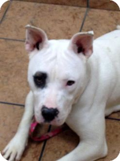 American Bulldog Mix Dog for adoption in Hampton, Virginia - Stella