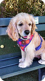 Cocker Spaniel Dog for adoption in Encinitas, California - Buffy