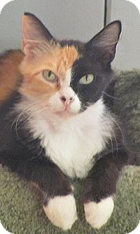 Calico Cat for adoption in Seminole, Florida - Aiyana