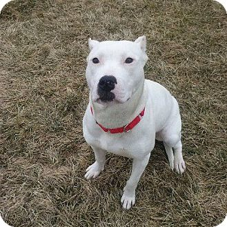 Pit Bull Terrier Dog for adoption in China, Michigan - Luna - Pending