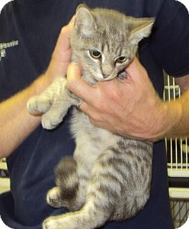 Domestic Shorthair Kitten for adoption in Mt. Vernon, Illinois - Tae