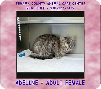 Domestic Longhair Cat for adoption in Red Bluff, California - ADELINE