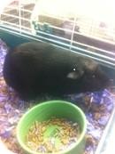 Guinea Pig for adoption in Wheaton, Illinois - Smore