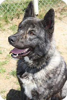 Akita Mix Dog for adoption in Grants Pass, Oregon - Koda
