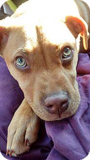 Labrador Retriever/Boxer Mix Puppy for adoption in CHICAGO, Illinois - ANDREW