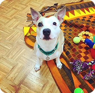 Terrier (Unknown Type, Medium) Mix Dog for adoption in Oak Park, Illinois - Duffy