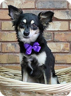 Chihuahua Mix Dog for adoption in Benbrook, Texas - Cupcake