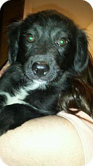 Border Collie/Labrador Retriever Mix Puppy for adoption in ST LOUIS, Missouri - Bethany