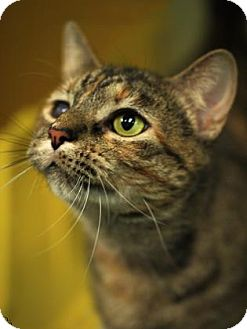 Domestic Shorthair Cat for adoption in Cleveland, Ohio - Claire #82