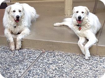 Great Pyrenees Dog for adoption in Granite Bay, California - BOOMER & RENO