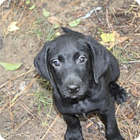 Adopt A Pet :: Stark - PENDING, in Maine - kennebunkport, ME