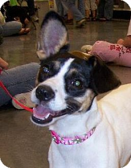 Rat Terrier Mix Dog for adoption in Lafayette, Louisiana - Jeannie