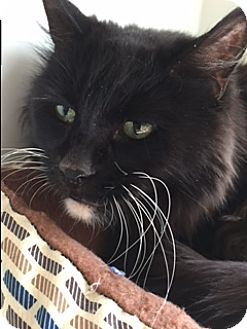 Domestic Longhair Cat for adoption in Divide, Colorado - Macky