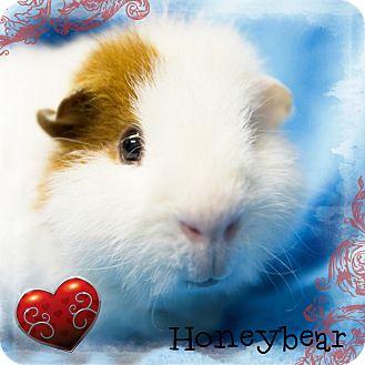 Guinea Pig for adoption in Germantown, Ohio - Honey Bear