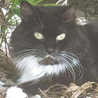 Domestic Longhair Cat for adoption in Miami, Florida - Vivien