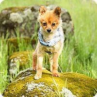 Adopt A Pet :: Peter Pan - Auburn, CA