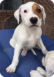 Coonhound (Unknown Type) Mix Puppy for adoption in WESTMINSTER, Maryland - Donald