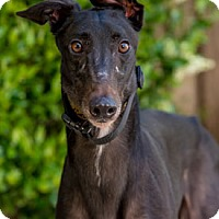 Adopt A Pet :: Iron Dog - Walnut Creek, CA